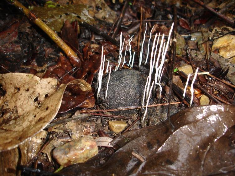Xylaria palmicola Cohune nut fungus Sibun River caves 5-10 RAThomas 2