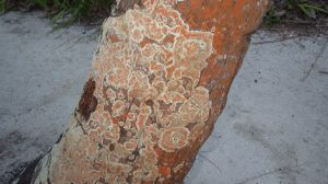 Dirinaria applanata or D. picta i with orange Trentepohlia sp. densely covering the base of a coconut tree.