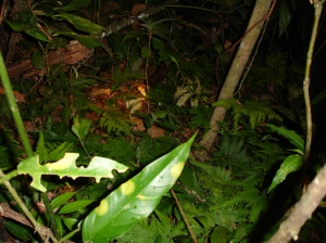 This fer-de-lance slithered away into the bush, and turned to face the intruder.  Note the head of the yellowjaw tommygoff exposed above the vegetation.  Photo by Bob Thomas.